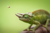 Hoverfly flying next to Jacksons chameleon on green background — Stock Photo