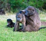 Afrikanische Paviane Familie sitzt auf dem grünen Rasen, Eastern Cape, Südafrika — Stockfoto