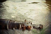 Vista elevada de hipopótamos salvajes nadando en agua - foto de stock