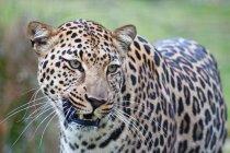 Портрет красиві диких леопард в Південній Африці, пар — стокове фото