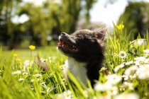 Chihuahua puppy sitting in garden, closeup — Stock Photo