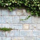 Gros plan image du lierre qui poussent sur le mur — Photo de stock