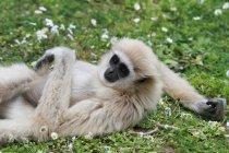 Gibbon, liegend auf dem grünen Rasen mit Blumen, Thailand — Stockfoto