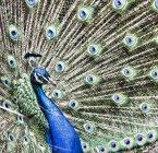 Портрет павлина с красивой красочной сказкой — стоковое фото