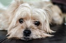 Portrait of a white yorkshire terrier dog lying on sofa — Stock Photo