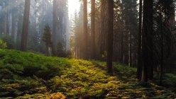 Vista panoramica della foresta al Sequoia National Park, Hume, California, Stati Uniti — Foto stock