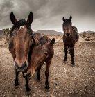 Три красивых коричневых лошадей, стоя и глядя на камеру на пасмурный день — стоковое фото