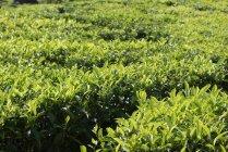 Vue de la plantation de thé vert frais — Photo de stock