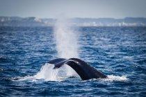 Malerische Aussicht auf Whale Tail Planschen im Wasser — Stockfoto