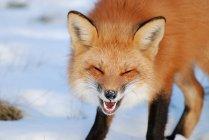 Gros plan portrait de beau renard debout sur la neige et riant — Photo de stock