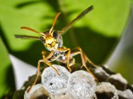 Closeup of a wasp guarding hive against blurred background — Stock Photo