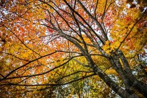 Vue panoramique de faible angle d'automne arbre, Hokkaido, Japon — Photo de stock