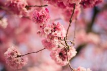 Close-up of Beautiful tree Pink Blossom — Stockfoto