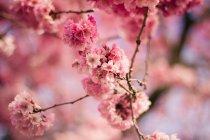 Primer plano de Hermoso árbol Pink Blossom - foto de stock