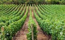 Linhas de vinhas, Santa Cruz, Chile — Fotografia de Stock