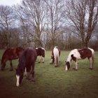 Pferde Essen Rasen im Frühjahr Feld — Stockfoto