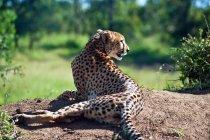 Vista posteriore di bella selvaggia Cheetah, Sud Africa, Limpopo — Foto stock