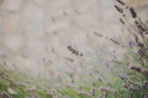 Close-up of lavender plants growing outdoors — Stock Photo