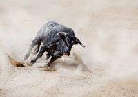 Чорний бик зарядки через пісок створення хмара пилу — стокове фото