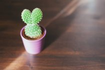 Cactus plant in a plant pot on wooden table in sunlight — Stockfoto