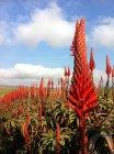 Vista panoramica di bellissimi fiori di aloe — Foto stock