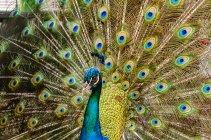 Крупный план разноцветного павлина с расправленными крыльями — стоковое фото