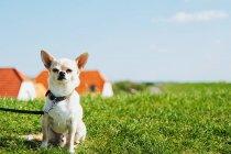 Собака на поводке сидит на зеленой траве в поле и смотрит в камеру — стоковое фото