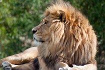Vista del primo piano di bella Leone africano selvaggio che si trova nel deserto, Sud Africa — Foto stock