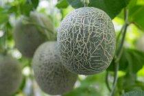 Melones frescos y sabrosos colgados de un árbol en invernadero - foto de stock