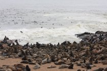 Seals lying on sandy beach in Namibia — Stock Photo