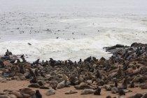 Уплотнения, лежа на песчаном пляже в Намибии — стоковое фото