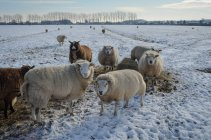 Scenic view of sheep on pasture at winter — Stock Photo