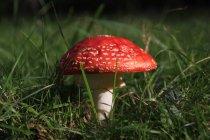 Vue rapprochée d'un champignon rouge dans l'herbe verte — Photo de stock