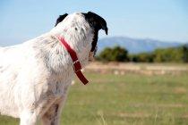 Вид сбоку собаки, смотрящей на овцу в поле — стоковое фото