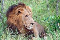 Красивые величественные Лев на дикой природы — стоковое фото