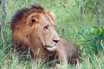 Прекрасний величний Лева в дикої природи — стокове фото