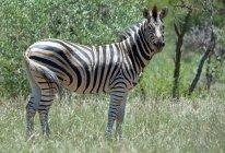 Живописный вид зебры на дикой природы — стоковое фото