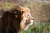 Side view of Majestic African Lion, Limpopo, Eastern Cape, South Africa — Stock Photo