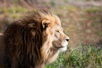 Боковой вид на Величественный Африканский лев, Лимпопо, Восточный Кейп, Южная Африка — стоковое фото