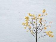 Fogli dell'albero con giallo accanto al muro bianco — Foto stock