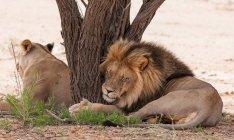 Niedlich, witzig und flauschige Löwen ruhen von Baum, Löwe umarmt Stamm — Stockfoto