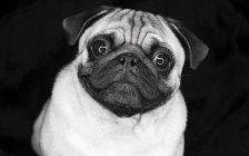 Студийный снимок милого мопса на монохромном, черном фоне — стоковое фото