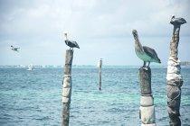 Pélicans debout sur des poteaux en bois dans les Caraïbes, Riviera Maya, Mexique — Photo de stock