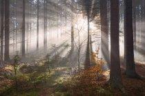 Живописный вид солнечного света потокового через деревья на восход, Фриули-Венеция-Джулия, Италия — стоковое фото