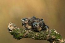 Deux poussins assis sur une branche contre l'arrière-plan flou — Photo de stock