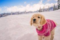 Золотой ретривер щенок носить розовый свитер, играя в свежий снег — стоковое фото