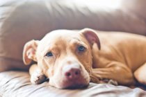 Gros plan de pitbull mignon vous détendre sur le canapé — Photo de stock