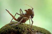 Closeup portrait of grasshopper against blurred background — Stock Photo