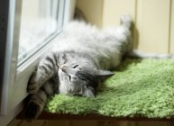 Adorable grey cat lying on green carpet by window — Stock Photo