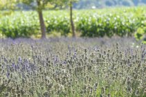 Scenic view of fresh lavender field, blurred background — Stock Photo